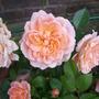 Patio Rose Sweet Dreams (Rosa)