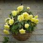 Begonia cascade 'Sunray'