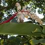 Alpinia zerumbet - Shell Ginger (Alpinia zerumbet - Shell Ginger)