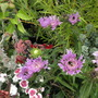 Bee friendly -1 stokesia