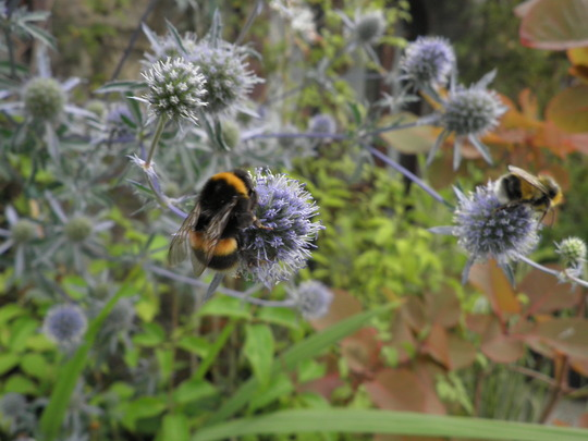Bee friendly -2 Sea holly