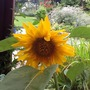 First Sunflower to open. (Helianthus annuus (Sunflower))