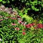Phlox and Echinacea
