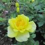 Kordana ground cover roses...Yellow!