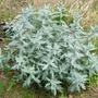 Artemesia ludoviciana (Artemisia ludoviciana (Western mugwort))