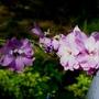 Delphinium Astolat (Delphinium elatum (Delphinium))