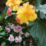 Begonias in Summer