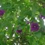 Clematis_viticella_purpurea_plena_2013