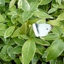 Butterfly Cabbage White