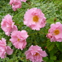Ground Cover Rose - Surrey Korlanum