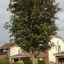 Sorbus aucuparia 'Fastigiata' (Sorbus aucuparia 'Fastigiata')