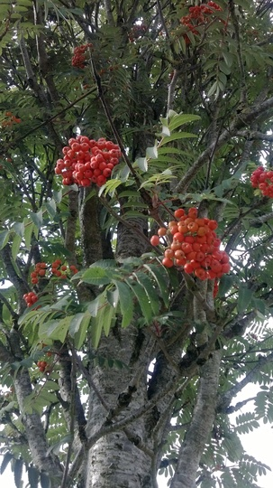 sorbus aucuparia 39 fastigiata 39 fruits grows on you. Black Bedroom Furniture Sets. Home Design Ideas