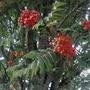 Sorbus aucuparia 'Fastigiata' fruits (Sorbus aucuparia 'fastigiata' fruits)