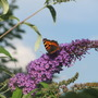 Buddlia and Butterfly..