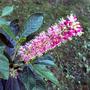 Clethra alnifolia 'Ruby Spice' (Clethra alnifolia (Sweet Pepperbush))