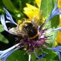 bee on the cornflower