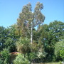 Eucalyptus tree -first cut