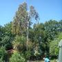 Eucalyptus -still cutting
