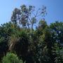 Eucalyptus Finally all done.