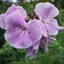 Lilac_phlox