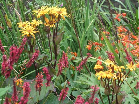 Ligularias on stream bank (Ligularia dentata)