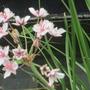 Pond plant (Butomus umbellatus (Flowering rush))