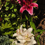 My lilies.