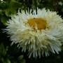 Leucanthemum 'Goldrush' (Leucanthemum)
