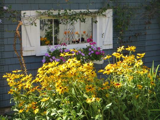 Garage garden  (Rudbeckia fulgida (Black-eyed Susan))