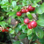 16.august 2013,Pärnumaa,Vaccinium vitis-idaea
