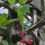 Berberidopsis corallina - 2013 (Berberidopsis corallina)