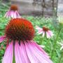 Echinaceas from my city garden