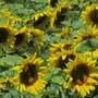 The sunny yellow faces follow the suns arc across the sky!