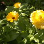 Mixed_calendulas