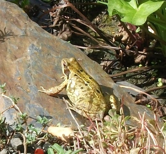 Garden frog I disturbed while tidying the rockery.