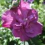 Hibiscus_purple_ruffles_2_