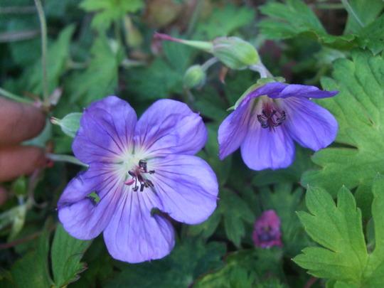 Geranium wallichianum 'Sylvia's Surprise' (Geranium wallichianum)