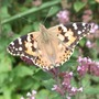 Painted_lady_butterfly
