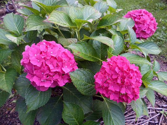 hydrangea macrophylla 39 forever ever red 39 grows on you. Black Bedroom Furniture Sets. Home Design Ideas