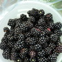 Blackberries in season, picked this morning from Dalley Lane.