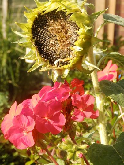 Pelargoniam and Sunflower