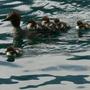 Merganser Duck and ducklings