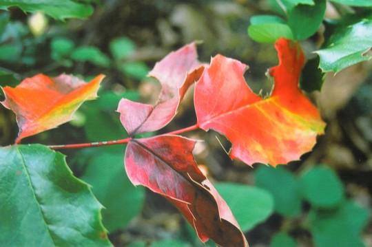 wild mahonia (Mahonia nervosa)