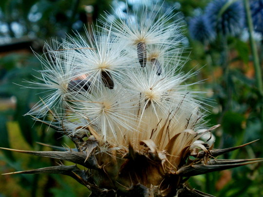 ready to set sail (Silybum marianum (Blessed milk thistle))
