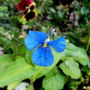 widows tears (commelina dianthiflolia)