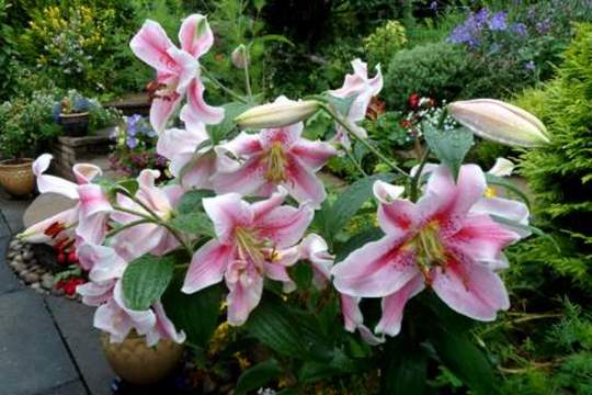 Star Gazer Lily [Pink]