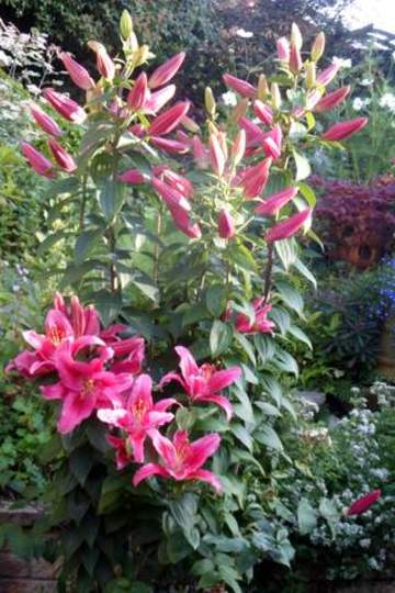 Star Gazer Lilly [full picture]