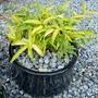 Pleioblastus auricomus (Golden Bamboo)