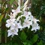 Lilium 'Muscadet' (Lilium)