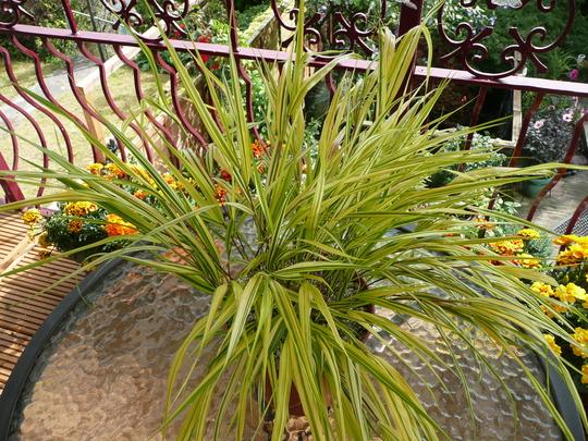 Varigated Grass 005